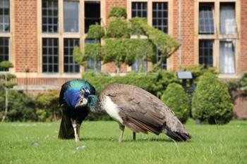 Whitgift peacocks